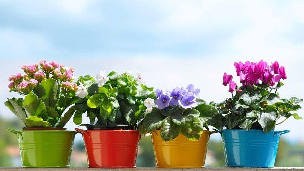 Как не допустить засыхания горшечных цветов?