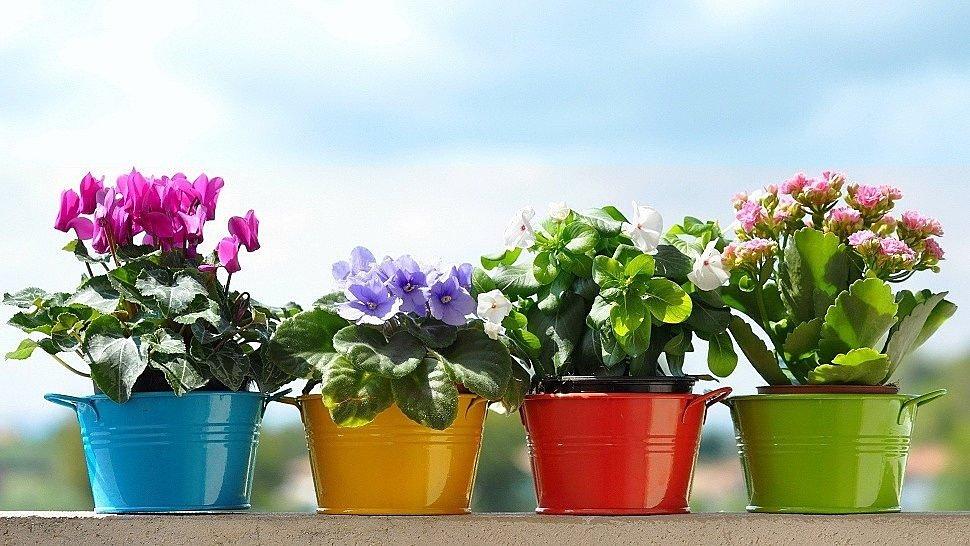 Выбираем в подарок неприхотливые горшечные цветы